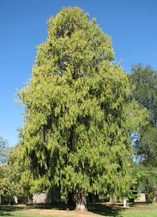 Weeping Cypress Wood Essential Oil (Vietnam)
